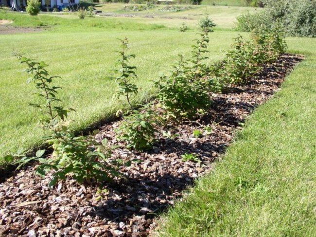 Молодые кустики малины Гусар и мульча из листьев