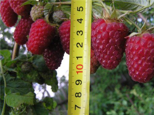 Измеряем длину ягоды малины рулеткой