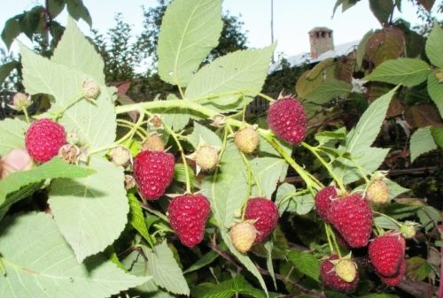 Высокая урожайность сорта Гусар привлекает многих садоводов