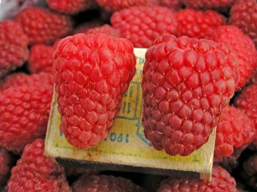 Сравнение размера ягод малины Гусар с габаритами спичечного коробка