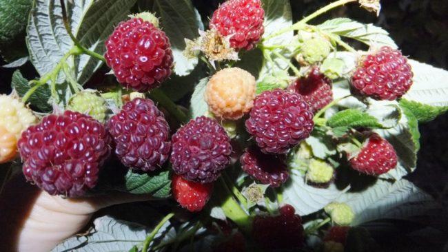 Перезревшие ягоды малины сорта Heritage с тонким и приятным ароматом