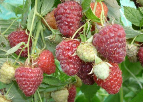 Плоды этого сорта отличается достойным вкусом