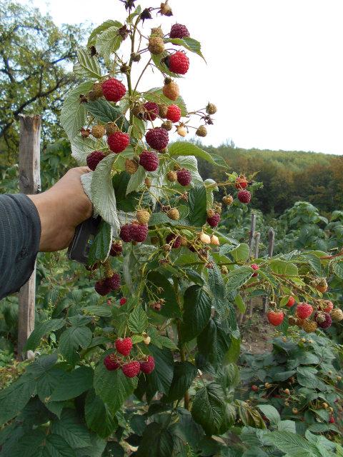 Ветка малины Херитейдж со множеством спелых ягод