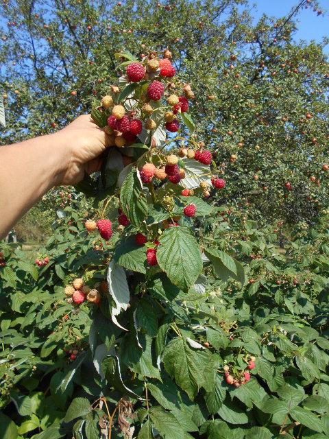 Грозди ягод малины так и просятся в ведерко