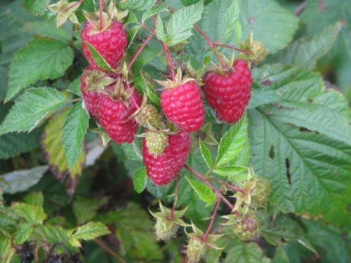 Гроздь ягоды малины на толстых ветках