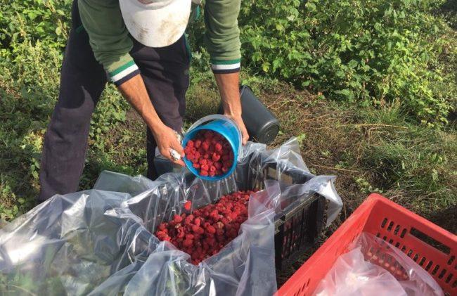 Сбор урожая малины сорта карамелька в частном фермерском хозяйстве