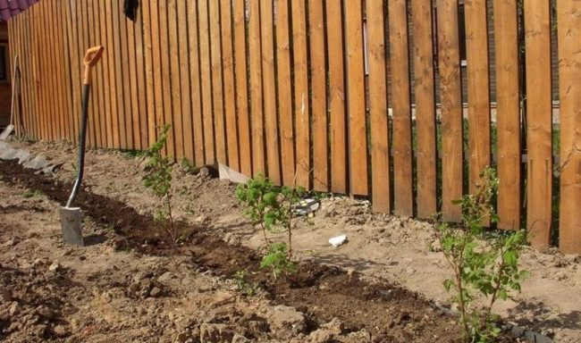 Весенняя высадка саженцев малины карамелька вдоль деревянного забора