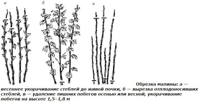 Методы обрезки малины