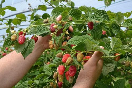 Мощные стебли малины со спеющими ягодами