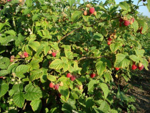 Множество плодовых веток обеспечивают кусту малины Мишутка большую урожайность