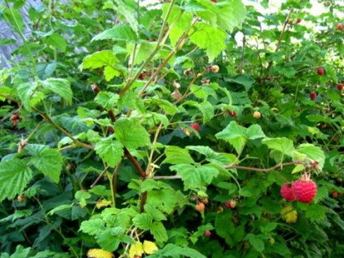 Взрослый куст малины Награда в середине лета