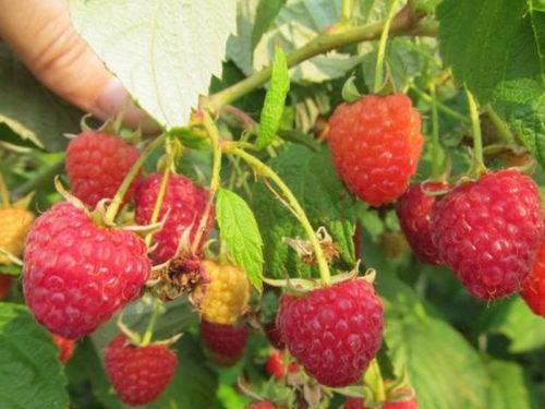 Ветка с ягодами малины сорта Награда