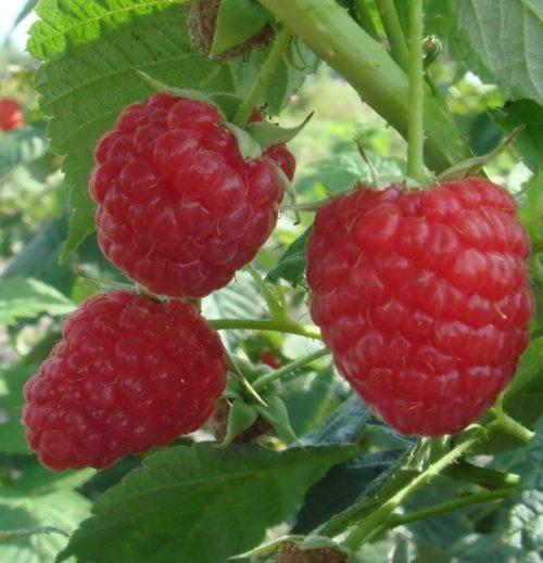 Три ягоды малины отечественного сорта Награда