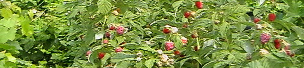 Куст малины сорта Недосягаемая с плодами