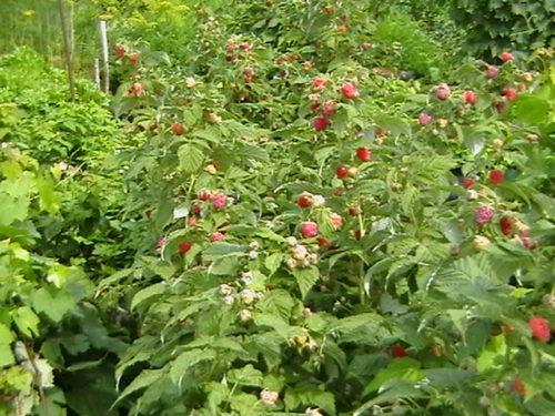 Кусты малины сорта Недосягаемая