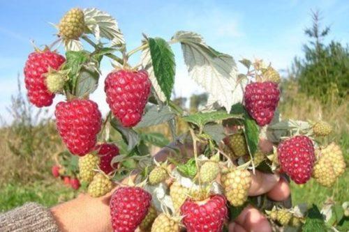 Сладкие ягоды малины Недосягаемая