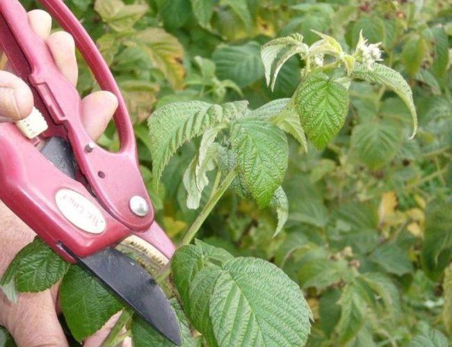 Обрезка куста малины садовыми ножницами