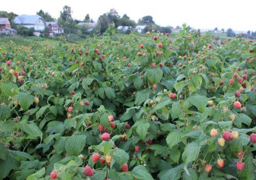 Посадки малины Полька в садовом хозяйстве