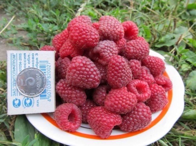 Сравнение плодов малины Полька с размерами спичечного коробка