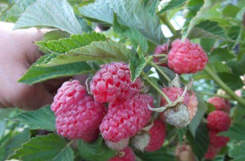Ветка малины сорта Сказка со спелыми ягодами
