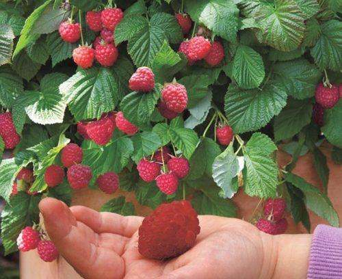 Огромная ягода малины сорта Сказка на руке
