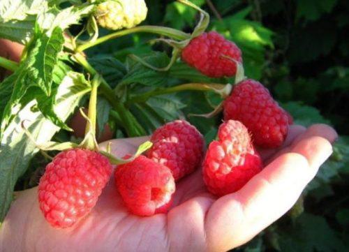 Горсть плодов малины Сказка