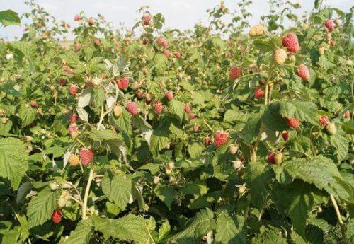 Сорт малины с повышенной устойчивостью к заболеваниям