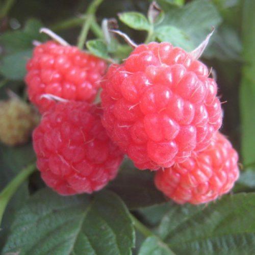 Четыре ягоды малины перспективного сорта Солнышко
