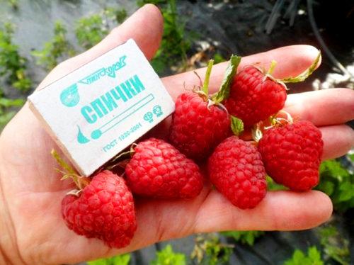 Сравнение размеров ягоды малины сорта Таганка со спичечным крорбком