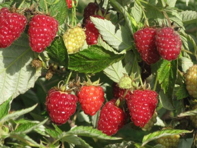Зрелые ягоды малины Вольница