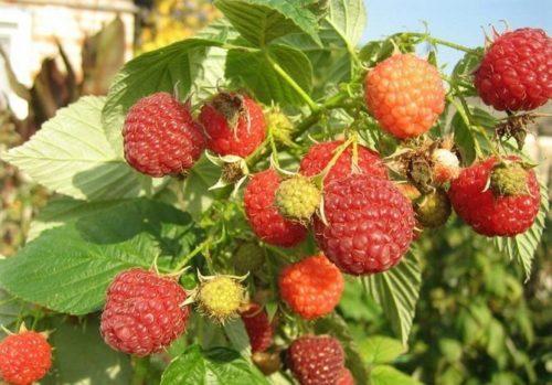 Крупные плоды малины с ярким насыщенным блекском