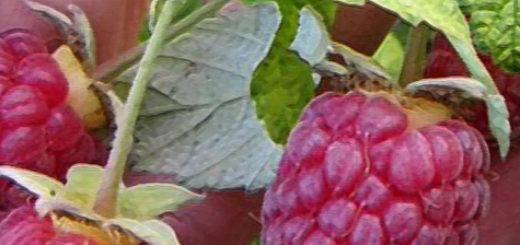 Плоды малины Терентий вблизи