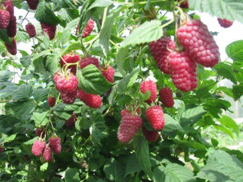 Стебли малины Терентий и созревшие ягоды
