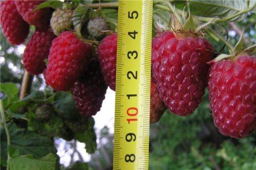 Ягода малины сорта Терентий длиной в 40 мм