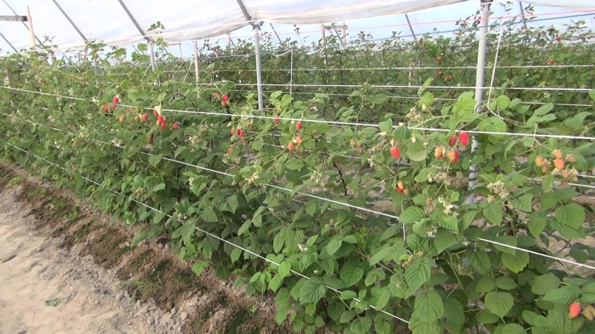 Агротехника по выращиванию ремонтантной малины