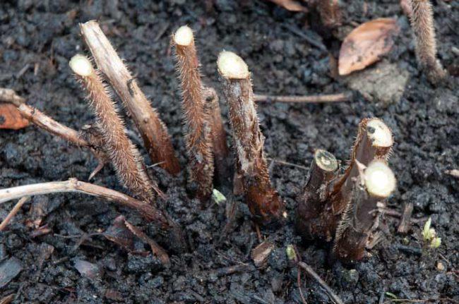 Обрезанные над землей стебли малины