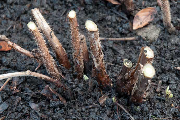 Сорт клубники фенелла описание