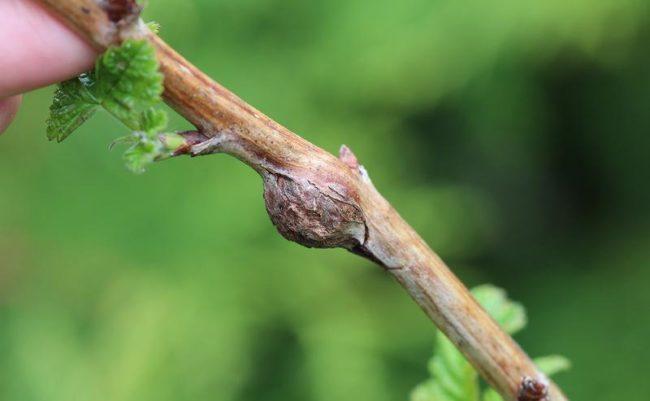 Грибковое заболевание на стебле малины