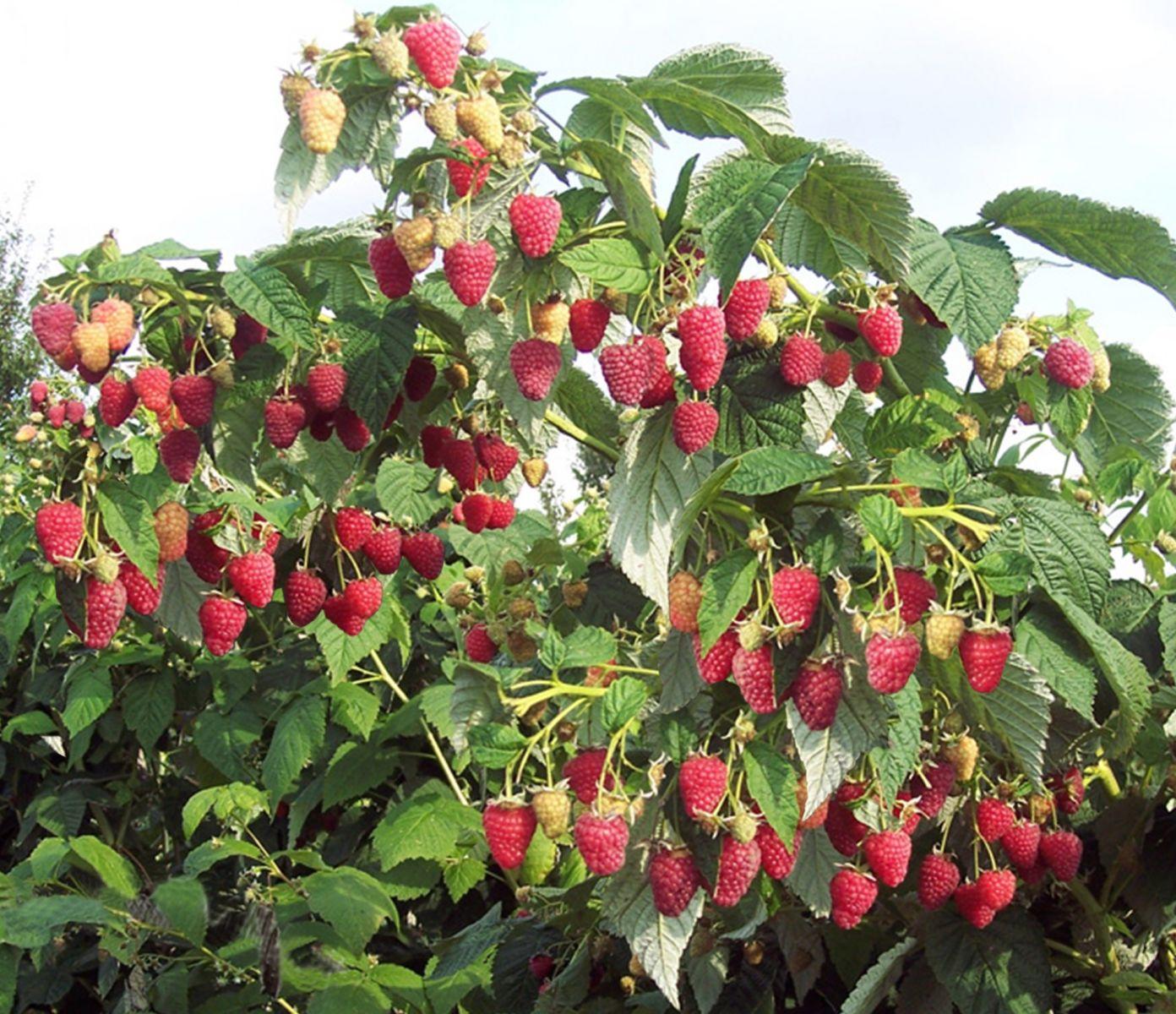 ознакомиться малиновое дерево посадка и уход фото размножение давно