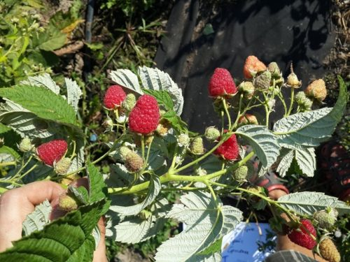 Стебель малины с ягодами спелыми и зелеными
