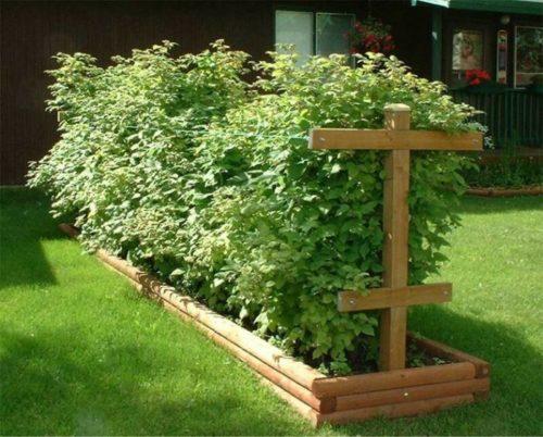 Ухоженные кусты малины в деревянной клумбе