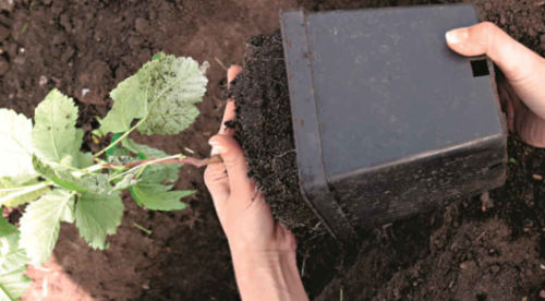 Вынимаем растение из горшка, предварительно увлажнив грунт