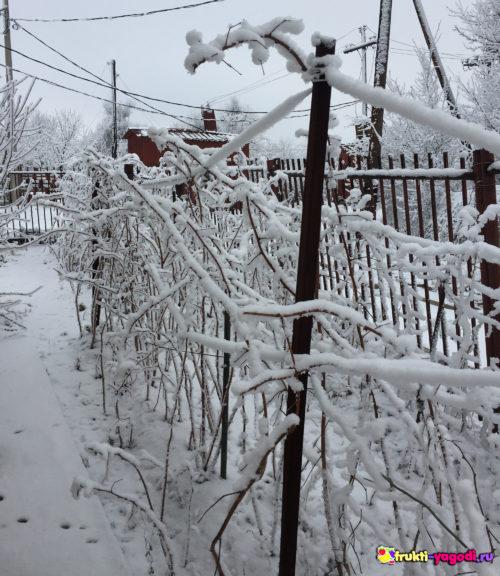 Малина в зимней корке из льда и снега