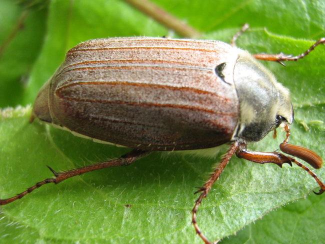 Майский жук на зелёном листочке