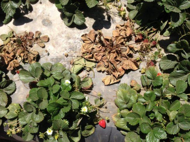 Земляничная нематода на садовой клубнике