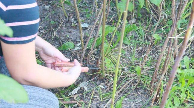 Короткая обрезка малины осенью