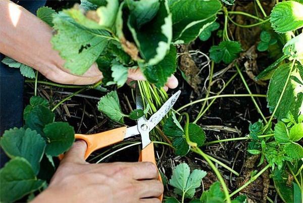 Обрезка листьев клубники садовым секатором