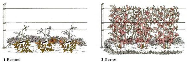 Обрезка малины в первый год посадки