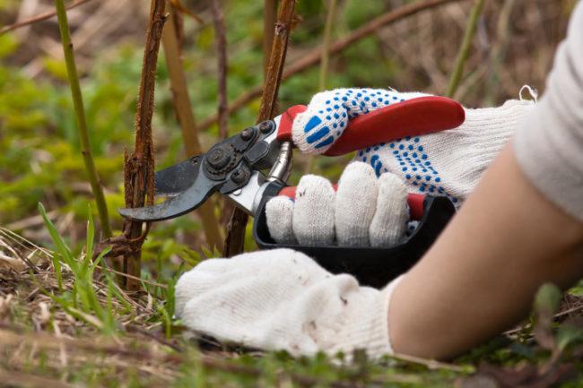 Вырезка стеблей малины сорта Недосягаемая производится в октябре