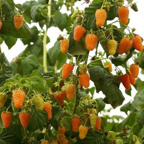 Ветки малины Оранжевое чудо, усыпанные спелыми ягодами
